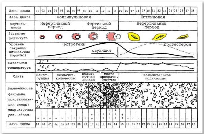Предварительное чтение графика базальной температуры на Woman Planet